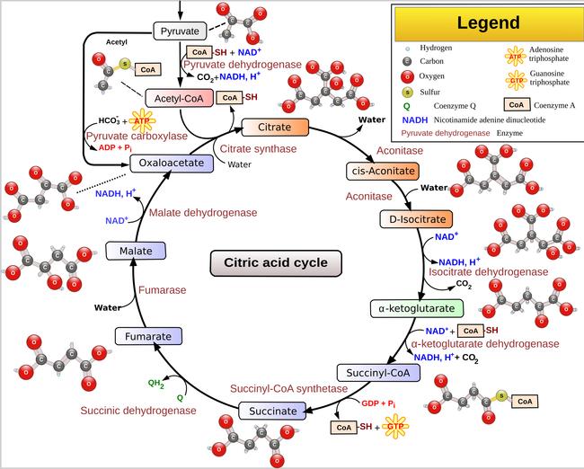 Krebso ciklas (Wikipedia.org)