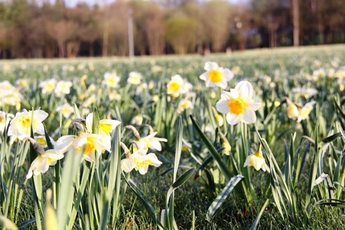 Narcizų žydėjimo šventė Druskininkuose
